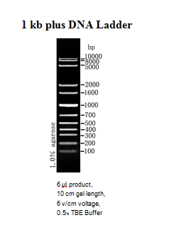 1 Kb Dna Ladder Clinisciences